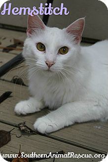 Turkish Angora Cat for adoption in Atlanta, Georgia - Hemstitch