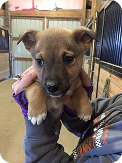 Shepherd (Unknown Type) Mix Puppy for adoption in Staunton, Virginia - Christian