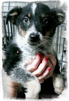 Cattle Dog Mix Puppy for adoption in Apache Junction, Arizona - Gypsy