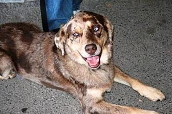Australian Shepherd/Retriever (Unknown Type) Mix Dog for adoption in Lucknow, Ontario - CHASE