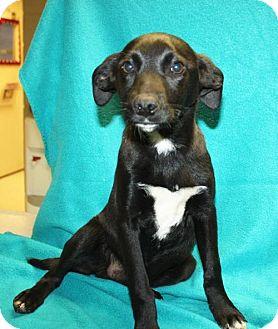 Labrador Retriever Mix Dog for adoption in Cottageville, West Virginia - Kuro
