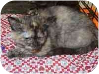 Domestic Shorthair Kitten for adoption in Bernardsville, New Jersey - Moonlily