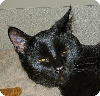 Domestic Shorthair Kitten for adoption in Bulverde, Texas - Colton