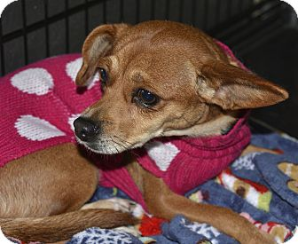Chihuahua Mix Dog for adoption in Meridian, Idaho - Krista