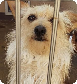 Terrier (Unknown Type, Small) Mix Dog for adoption in Las Vegas, Nevada - Truffles