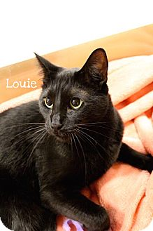 Domestic Shorthair Cat for adoption in Foothill Ranch, California - Louie