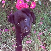 Adopt A Pet :: Pie - Woodward, OK