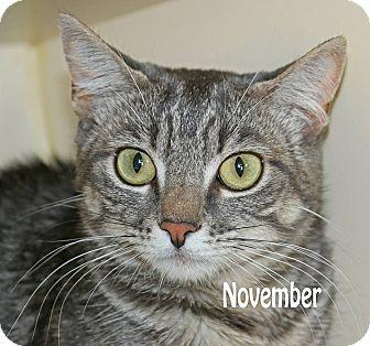 Domestic Shorthair Cat for adoption in Idaho Falls, Idaho - November