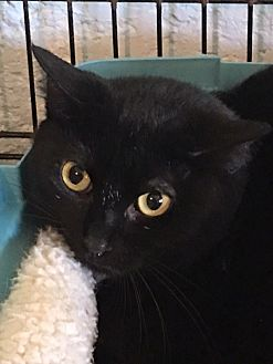 Domestic Shorthair Cat for adoption in Alpharetta, Georgia - Pepper