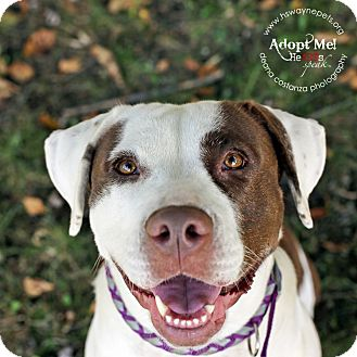 American Pit Bull Terrier Mix Dog for adoption in Lyons, New York - Autumn