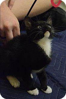 Domestic Shorthair Kitten for adoption in Mebane, North Carolina - Bennie