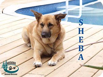 Shepherd (Unknown Type)/Labrador Retriever Mix Dog for adoption in Huntsville, Ontario - Sheba - Adopted November 2016
