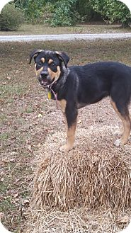 Shepherd (Unknown Type)/Labrador Retriever Mix Dog for adoption in East Hartford, Connecticut - Rosie-pending adoption