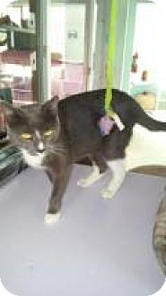 Domestic Shorthair Cat for adoption in Englewood, Florida - Tropicana
