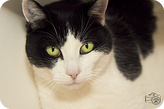 Domestic Shorthair Cat for adoption in Divide, Colorado - Stormy