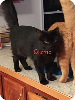 Domestic Longhair Cat for adoption in Flint HIll, Virginia - Gizmo