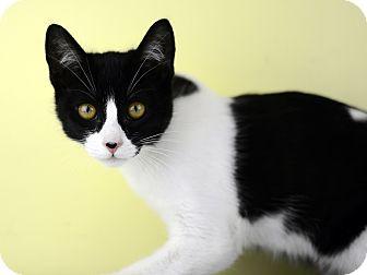 Domestic Shorthair Kitten for adoption in LAFAYETTE, Louisiana - COMMIE (LITTLE COMET)