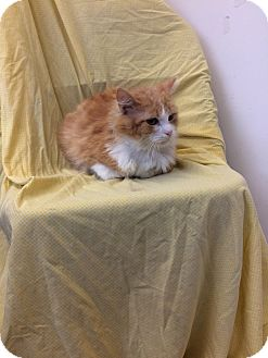 Domestic Longhair Cat for adoption in University Park, Illinois - Herman