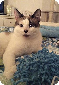 Siamese Cat for adoption in Fullerton, California - Palmer