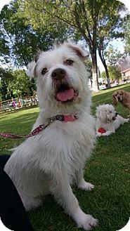 Terrier (Unknown Type, Medium)/Westie, West Highland White Terrier Mix Dog for adoption in San Diego, California - Layca