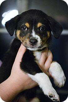 Australian Shepherd/Border Collie Mix Puppy for adoption in Hagerstown, Maryland - Captain