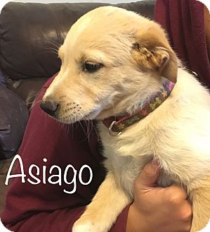 Labrador Retriever/Golden Retriever Mix Puppy for adoption in Regina, Saskatchewan - Asiago