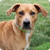 Adopt A Pet :: Sashi - Harrison, NY