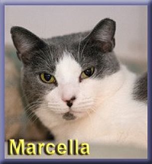 Domestic Shorthair Cat for adoption in Aldie, Virginia - Marcella