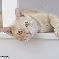 Adopt A Pet :: Scotch - Huntsville, AL
