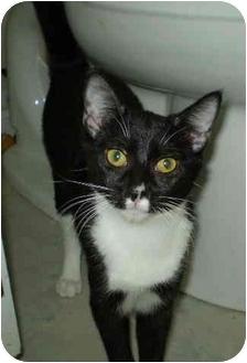 Domestic Shorthair Cat for adoption in San Ramon, California - Checkers