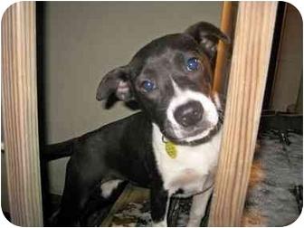 Pointer Mix Puppy for adoption in Old Bridge, New Jersey - Geisha