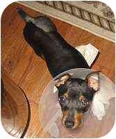 Miniature Pinscher Puppy for adoption in Syracuse, New York - Fin