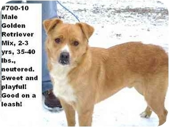Golden Retriever Mix Dog for adoption in Zanesville, Ohio - # 700-10  @ Animal Shelter