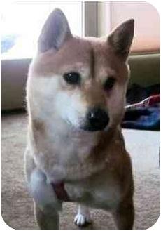 Shiba Inu Dog for adoption in Round Lake, Illinois - Pixie (Iowa)