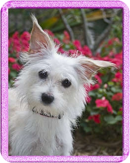 Westie, West Highland White Terrier/Terrier (Unknown Type, Small) Mix Dog for adoption in North Palm Beach, Florida - Snowy