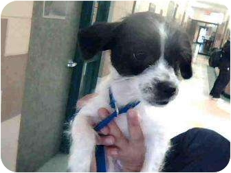 Miniature Schnauzer Mix Puppy for adoption in Corpus Christi, Texas - MaryJane