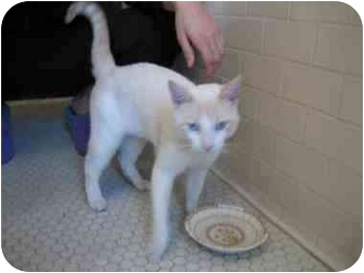 Domestic Shorthair Cat for adoption in Long Beach, New York - Kitty