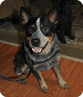 Australian Cattle Dog Dog for adoption in Conway, Arkansas - Jack