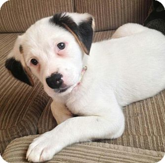 Border Collie Mix Puppy for adoption in Flower Mound, Texas - Lilac