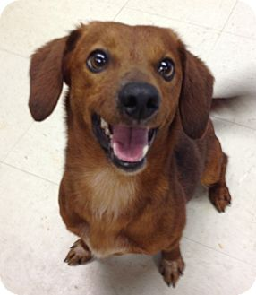 Dachshund Mix Dog for adoption in Groton, Massachusetts - Gidget