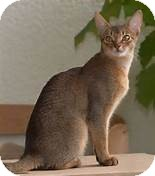 Abyssinian Cat for adoption in Fremont, Nebraska - Osiris