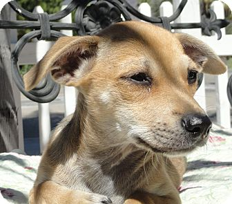 Chihuahua/Jack Russell Terrier Mix Puppy for adoption in Santa Ana, California - Typhoon