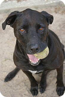 Labrador Retriever/Rottweiler Mix Dog for adoption in Brooksville, Florida - Betty