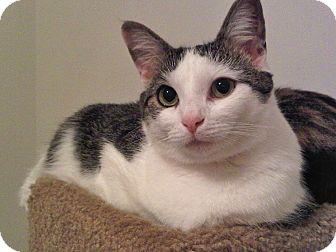 American Shorthair Cat for adoption in Alexandria, Virginia - Strudel