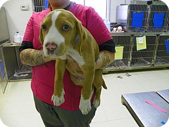 Hound (Unknown Type)/Labrador Retriever Mix Puppy for adoption in Waldorf, Maryland - Walker