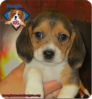 Beagle Puppy for adoption in Yardley, Pennsylvania - Puppies