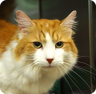 Domestic Longhair Cat for adoption in Daytona Beach, Florida - Alex