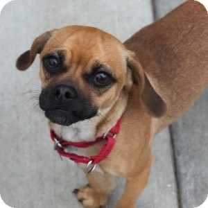 Chihuahua/Pug Mix Dog for adoption in Naperville, Illinois - Sabra