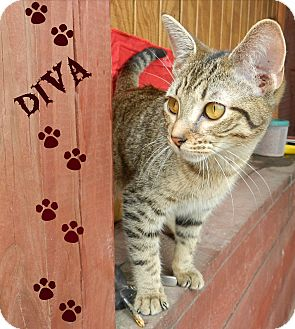 Domestic Shorthair Cat for adoption in Lawrenceburg, Tennessee - Diva