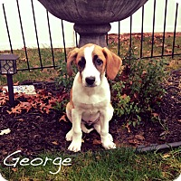Adopt A Pet :: George - Southington, CT